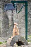 Meerkat - Suricate - Suricata suricatta Royalty Free Stock Image