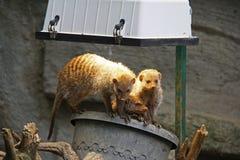 Meerkat or Suricate (Suricata suricatta) Stock Images