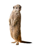 Meerkat or suricate Suricata suricatta Royalty Free Stock Photo