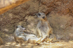 Meerkat or Suricate (Suricata suricatta) Stock Photo
