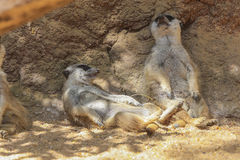 Meerkat or Suricate (Suricata suricatta) Stock Photos