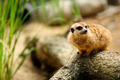 Meerkat or suricate (Suricata suricatta). ZOO Stock Photography