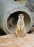Meerkat ή suricate suricatta Suricata Στοκ Εικόνα
