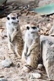 Meerkat or suricate Stock Images