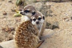 Meerkat or suricate Royalty Free Stock Photo