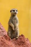 Meerkat / suricate Royalty Free Stock Photo