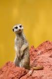 Meerkat / suricate Royalty Free Stock Photos