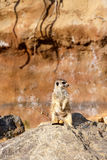 Meerkat or suricate Stock Images