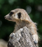 Meerkat, suricate royalty free stock photo