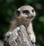 Meerkat, suricate royalty free stock images