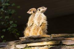 Meerkat ή Suricate & x28 Suricata suricatta& x29  Στοκ Εικόνα