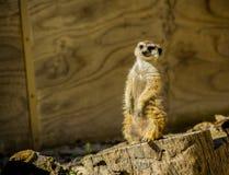 Meerkat suricate at zoo. A curious meerkat standing at zoo Stock Image