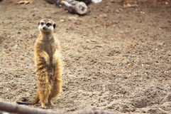 Meerkat or Suricate in the zoo Stock Photos