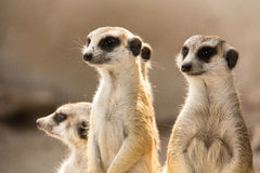 The meerkat. Stock Images