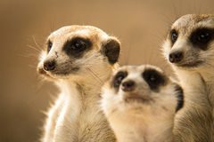 The meerkat. Stock Image