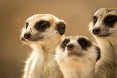 The meerkat. Meerkat or Suricate in the zoo , Thailand Stock Image