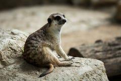 The meerkat Stock Photo