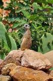 Meerkat suricate zwierzę Fotografia Stock