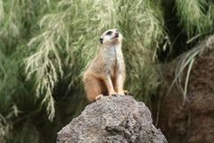 Meerkat Suricato Looking Up Royalty Free Stock Images