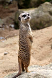 Meerkat (suricatta de Suricata) Photographie stock