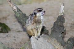 Meerkat - suricatta de Suricata Photographie stock