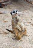 Meerkat (suricatta de Suricate, del Suricata) imagen de archivo libre de regalías