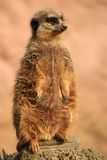 Meerkat (suricatta del Suricata) Imagenes de archivo