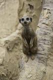 Meerkat, suricatta del Suricata Imagen de archivo
