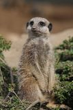 Meerkat - suricatta del Suricata Immagini Stock
