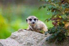 Meerkat (suricatta del Suricata) Fotografia Stock