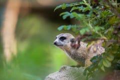 Meerkat (suricatta del Suricata) Immagini Stock