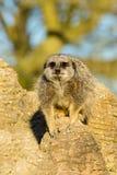 Meerkat (suricatta del Suricata) immagini stock libere da diritti