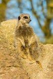 Meerkat (suricatta del Suricata) fotografia stock libera da diritti
