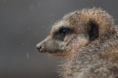 Meerkat - suricatta del Suricata Immagini Stock Libere da Diritti