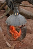 Meerkat - suricatta del Suricata Fotografia Stock
