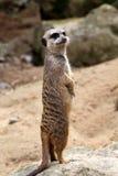 Meerkat (suricatta do Suricata) Fotografia de Stock