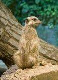 Meerkat (suricatta do Suricata) Imagem de Stock