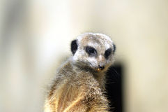 Meerkat - suricatta do Suricata Imagem de Stock