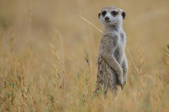 Meerkat (suricatta do Suricata) Imagem de Stock Royalty Free