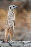 Meerkat - suricatta do Suricata Imagem de Stock Royalty Free