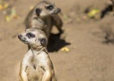 Meerkat (suricatta do Suricata) com bebê curioso, deserto de Kalahari, África do Sul fotografia de stock