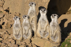 Meerkat, suricatta do Suricata, observando arredores Imagens de Stock