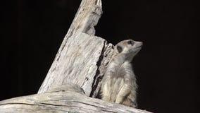 Meerkat (suricatta Suricata) на сигнале тревоги акции видеоматериалы