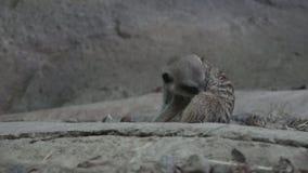 Meerkat (suricatta Suricata) очищает сток-видео