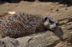 Meerkat (suricatta Suricata) понизилось уснувший на обязанности Стоковое фото RF