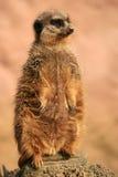 Meerkat (suricatta Suricata) Stock Afbeeldingen