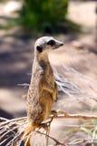 Meerkat - suricatta Suricata Royalty-vrije Stock Afbeeldingen