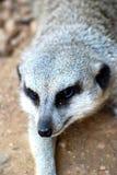 Meerkat: Suricatta Suricata Стоковые Изображения