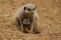 Meerkat - suricatta Suricata Στοκ φωτογραφία με δικαίωμα ελεύθερης χρήσης