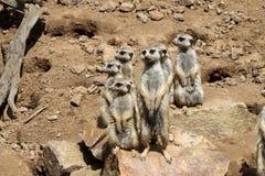 Meerkat, suricatta Suricata Στοκ φωτογραφία με δικαίωμα ελεύθερης χρήσης